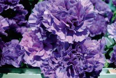 Fukuhara, Tremmel: Common Flowers/White Out