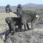 Primate Cinema: Baboons as Friends