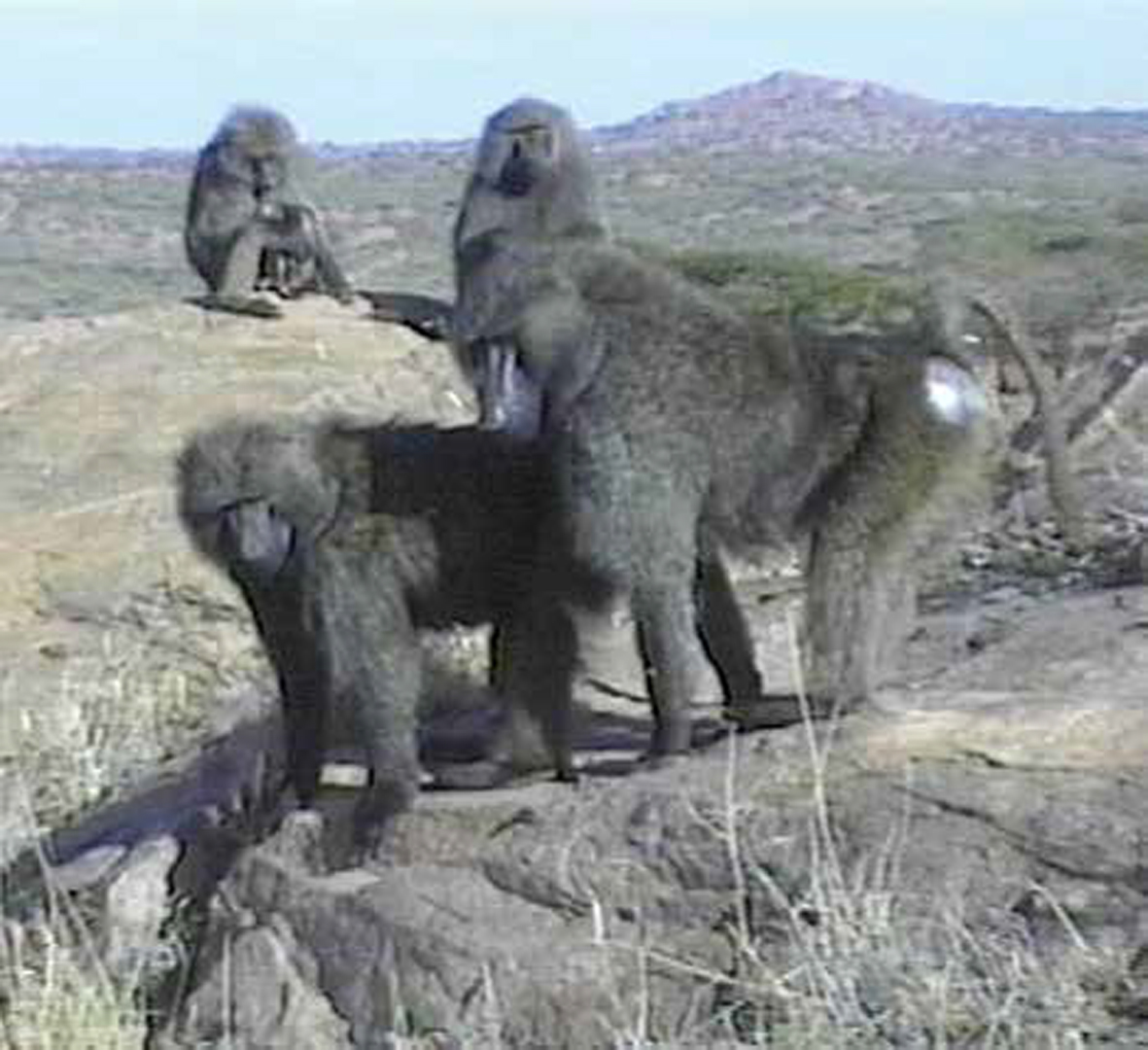 ©, Rachel Mayeri, Primate Cinema: Baboons as Friends